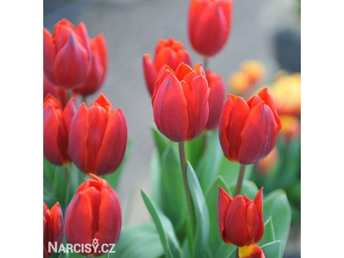 Tulipán Couleur cardinal 2
