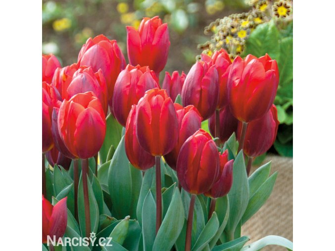 cerveny tulipan triumph couleur cardinal 6