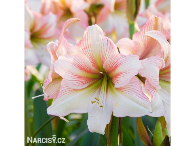 bílorůžový hvězdník amaryllis amore 1