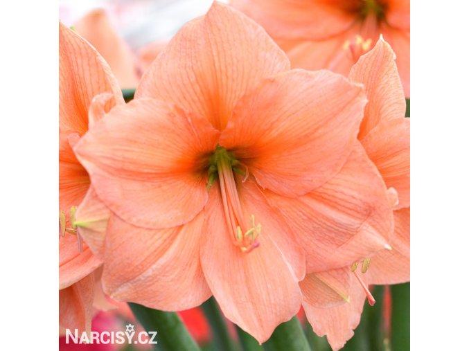 oranžový hvězdník amaryllis rilona 1