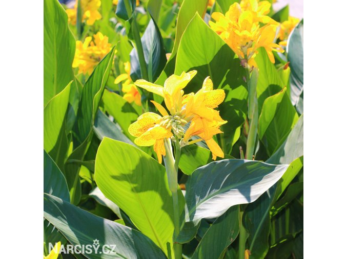 Dosna Yellow 03