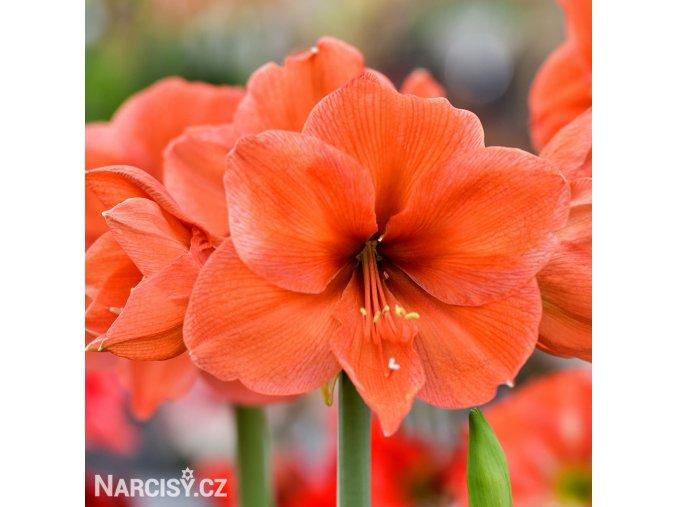 oranžový hvězdník amaryllis orange souvereign 1