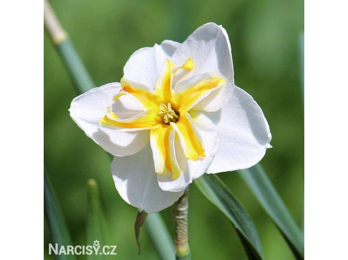 Narcis Lemon Beauty 1