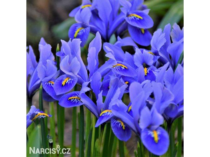 Iris harmony reticulata 1