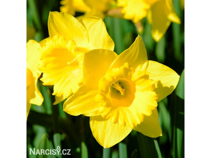 Narcis Gigantic Star 1