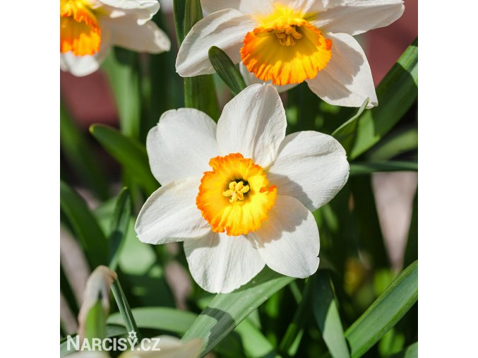 Narcis June Allyson 1