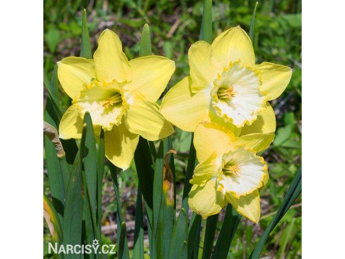 žlutobílý narcis st patricks day 1