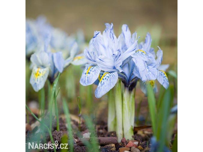 Iris Kathrine 2