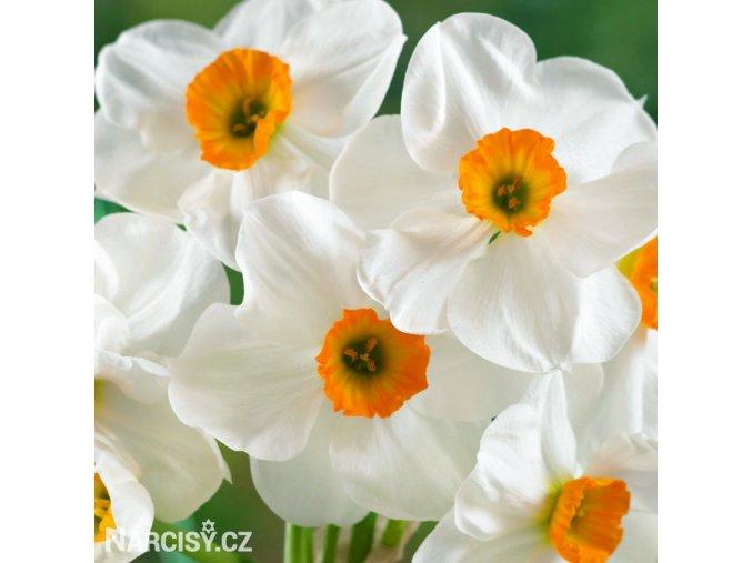 bílooranžový narcis geranium 1