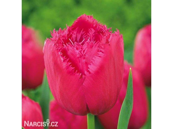 ruzovy trepenity tulipan burgundy lace 1