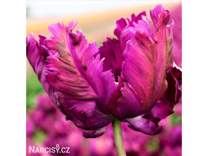 Tulipan Negrita 1
