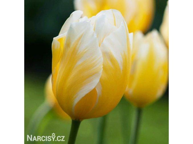 zlutobily tulipan triumph happy people 1