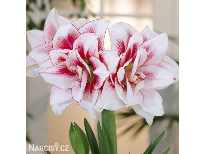bíločervený hvězdník amaryllis elvas 1