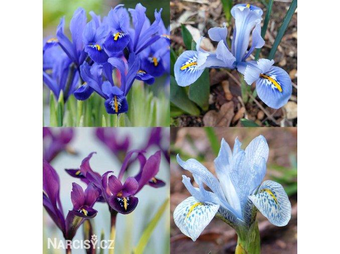 Iris mix reticulata 3