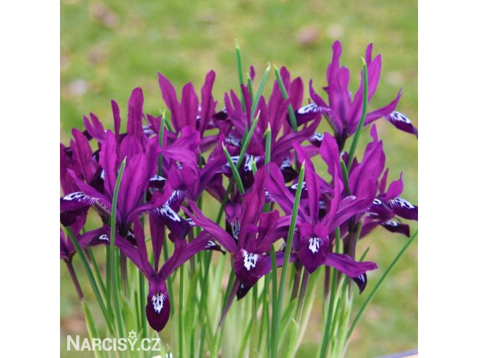 fialový kosatec pauline iris reticulata 1