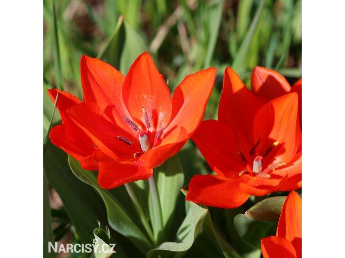 Tulipán Praestans Fusilier 2