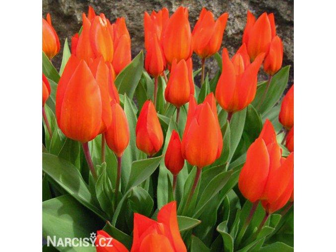cerveny tulipan praestans fusilier 1