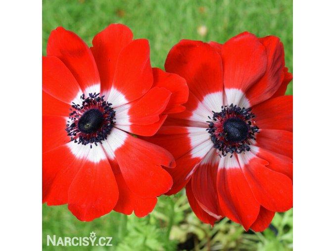 Sasanka coronaria Hollandia 02
