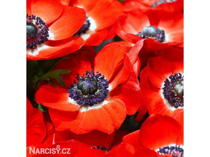 sasanka anemone hollandia 4