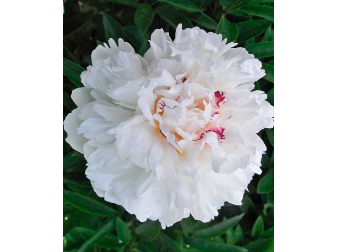 Paeonia couronne d'or 01