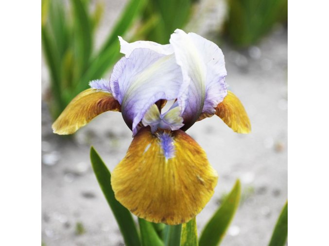 Iris hocus pocus 02