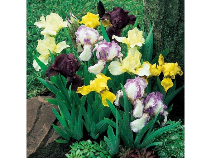 Iris pumila mix 01