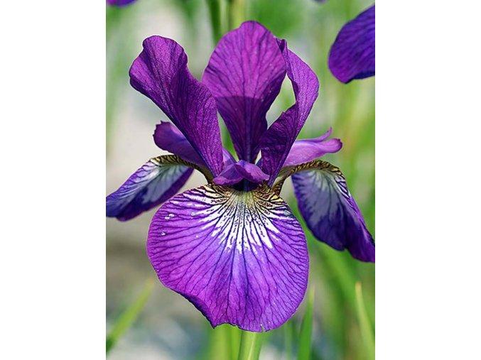 Iris Wine Wings 02