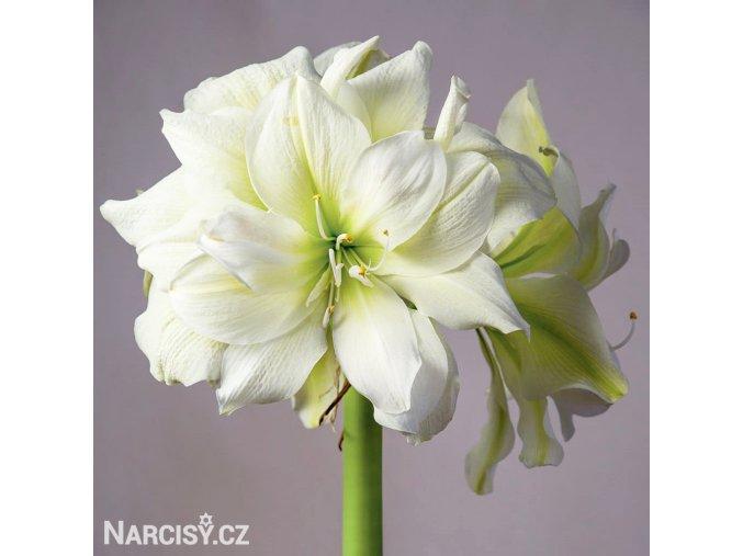 Amarylis Marylin 1