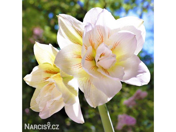 bíločervený hvězdník amaryllis nymph 1