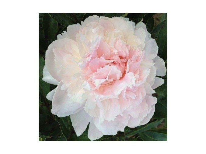 Gardenia 04