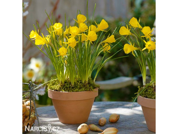 žlutý narcis bulbocodium golden bells 5