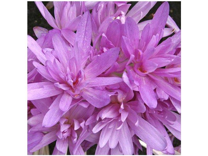 Colchicum Waterlily 1