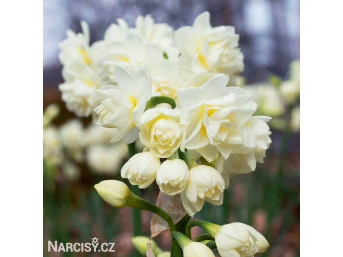 bílý plnokvětý narcis erlicheer 1