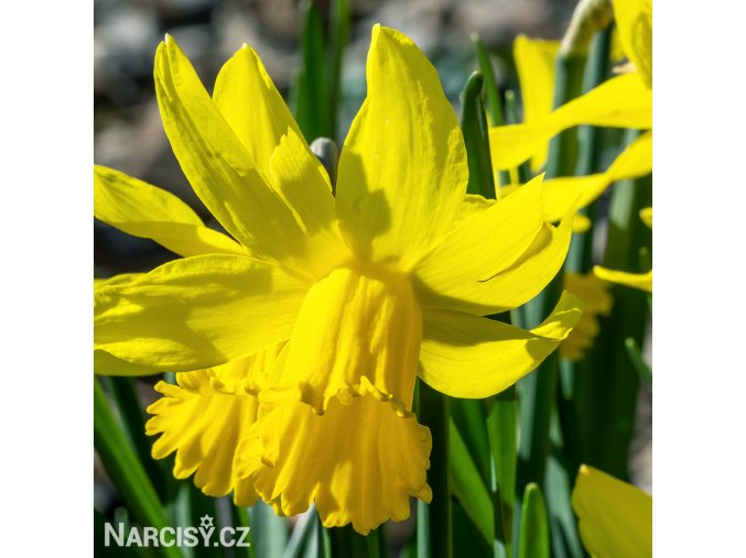 Narcis February gold 1