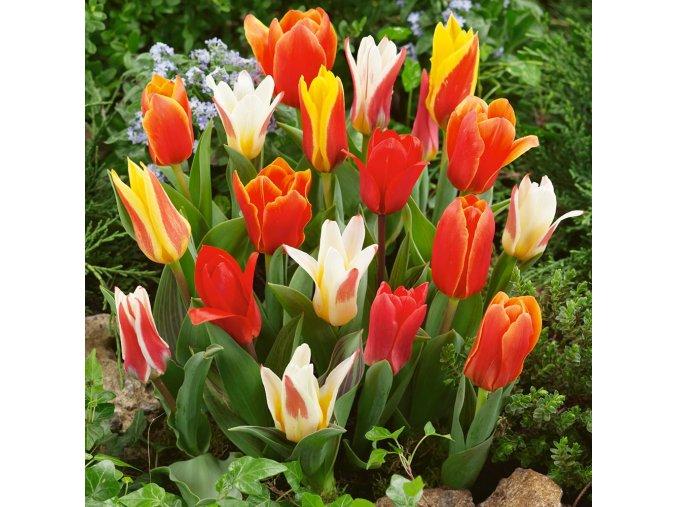 Tulipán Greigii mix 1