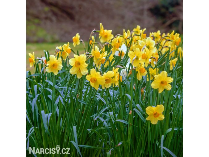 Narcis Fortune 5