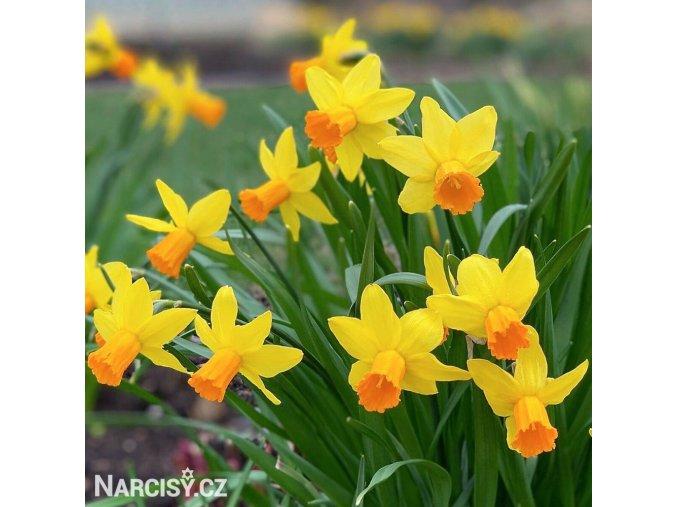 žlutooranžový narcis jetfire 1