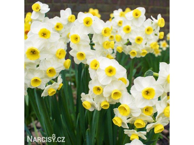 bílý zakrslý narcis minnow 3