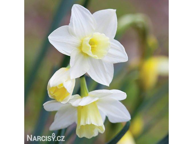 bílý vícekvětý narcis pueblo 5