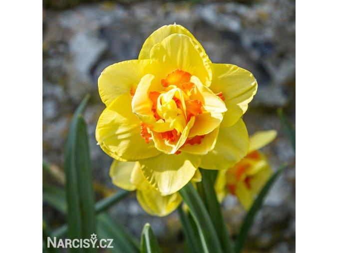 Narcis Tahiti 1