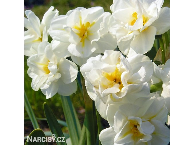 Narcis White cheerfulness 6