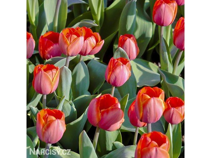 Tulipan Ad rem 4