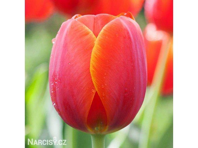 červený tulipán ad rem 1