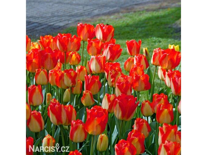 Tulipan American dream 5