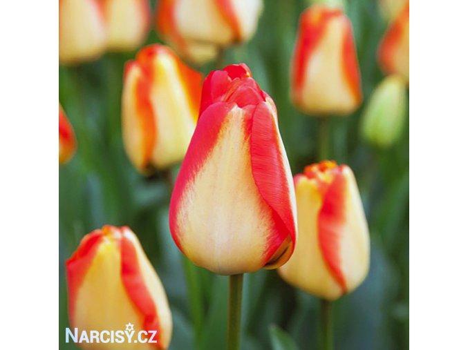 žlutočervený tulipán american dream 1