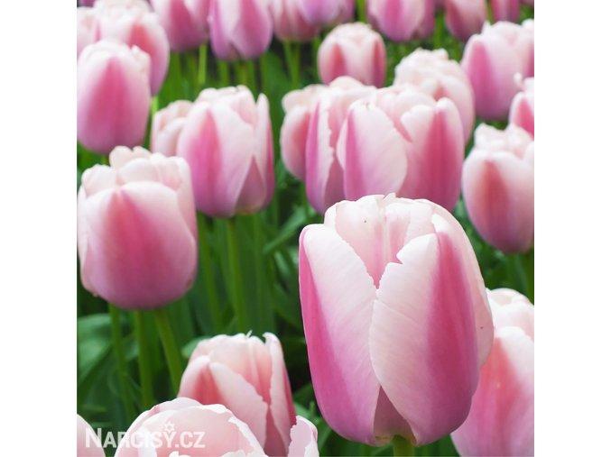 růžový tulipán ollioules 1