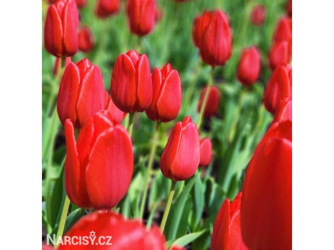 Tulipan Apeldoorn 2