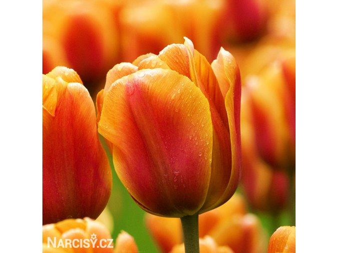 Tulipan Apeldoorn elite 1