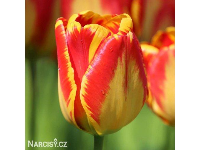 žlutočervený tulipán banjaluka 1