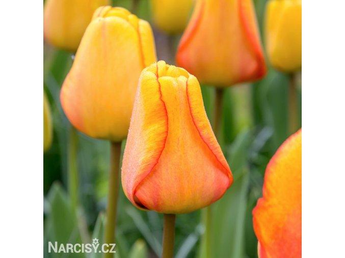 Tulipan Blushing apeldoorn 1